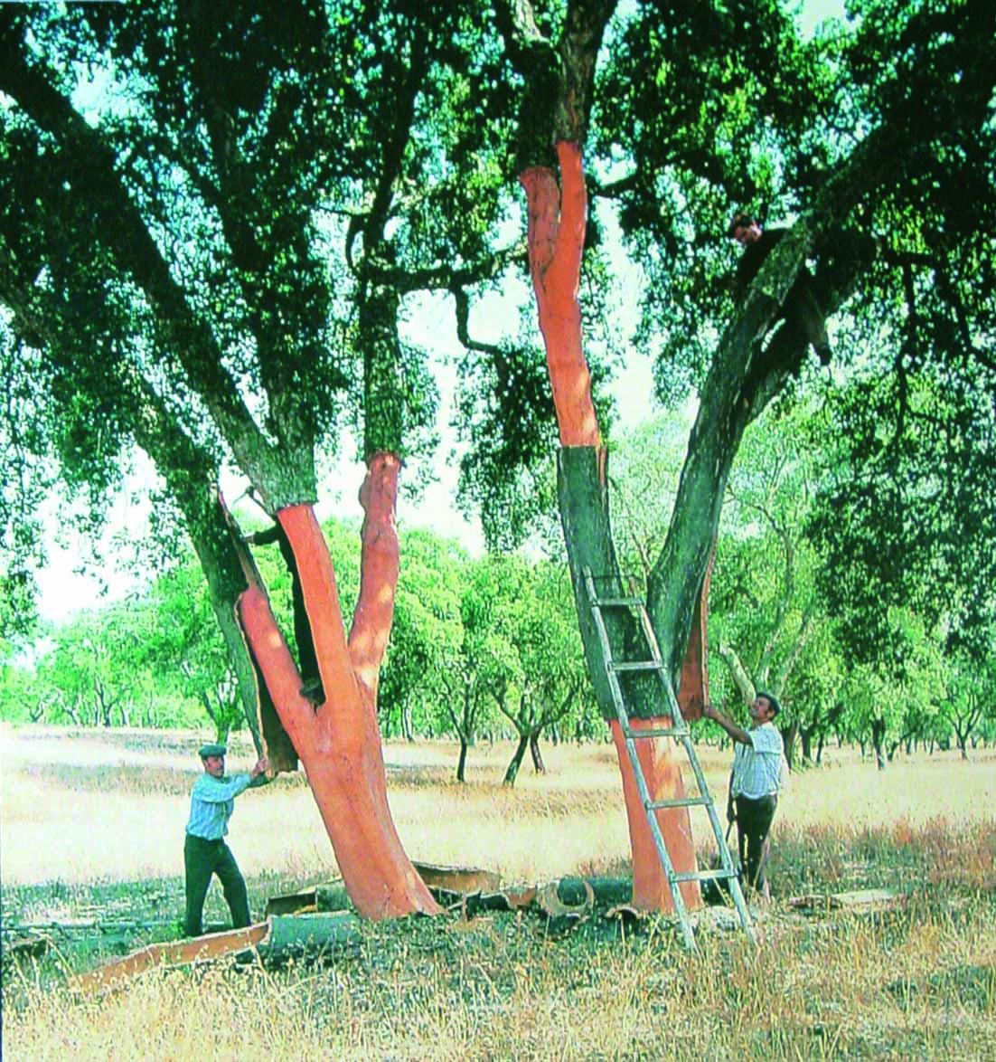 コルク樹皮の採取風景